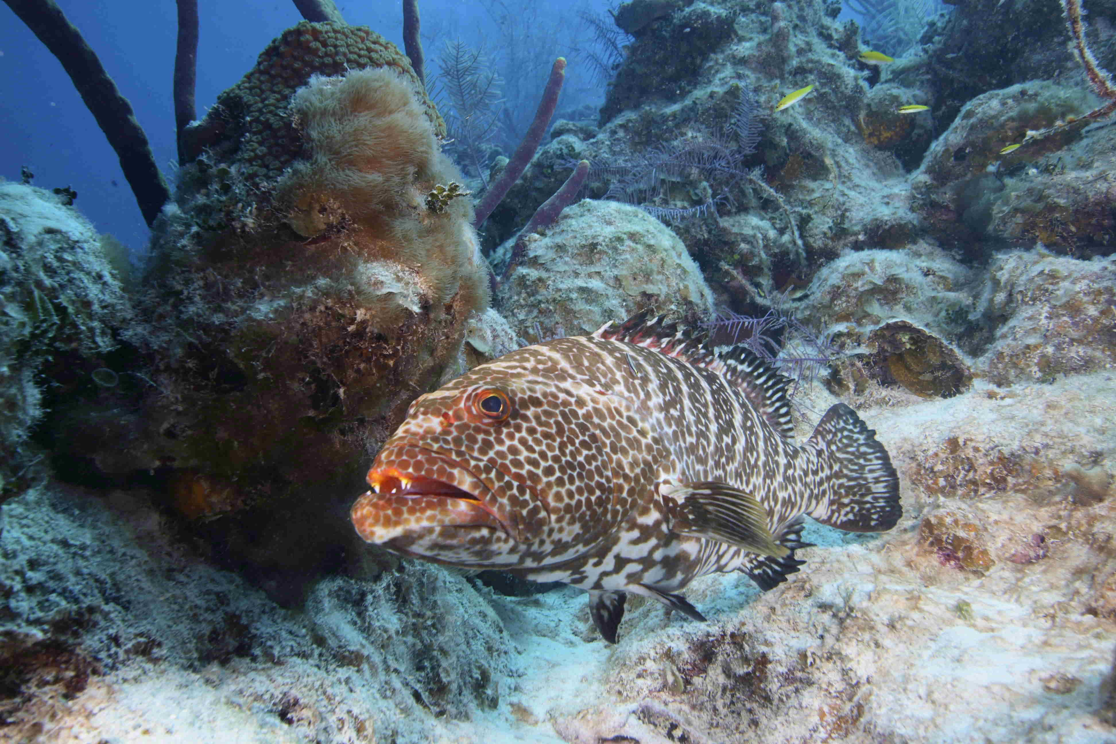 coral reef with grouper, marine biology protection