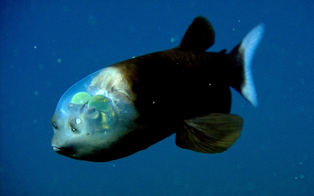Video: Pacific Barreleye Fish with Transparent Head Filmed
