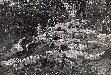 congregation of alligators photo