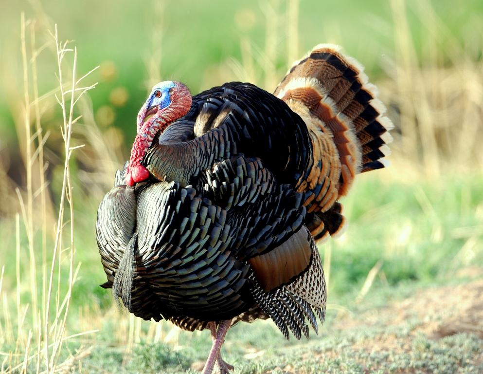 turkey gobbler photo