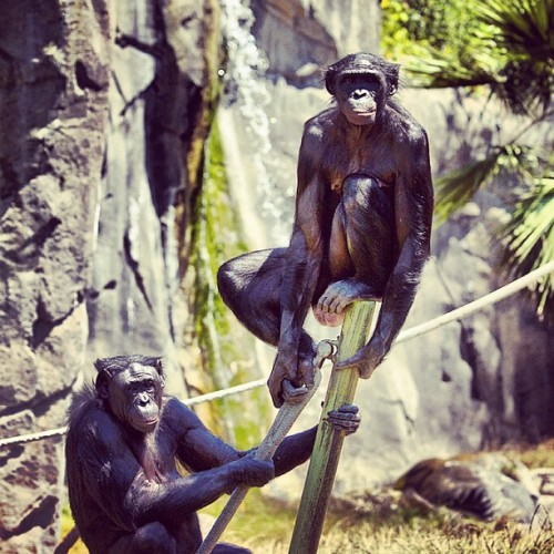 Group of Apes called a shrewdness