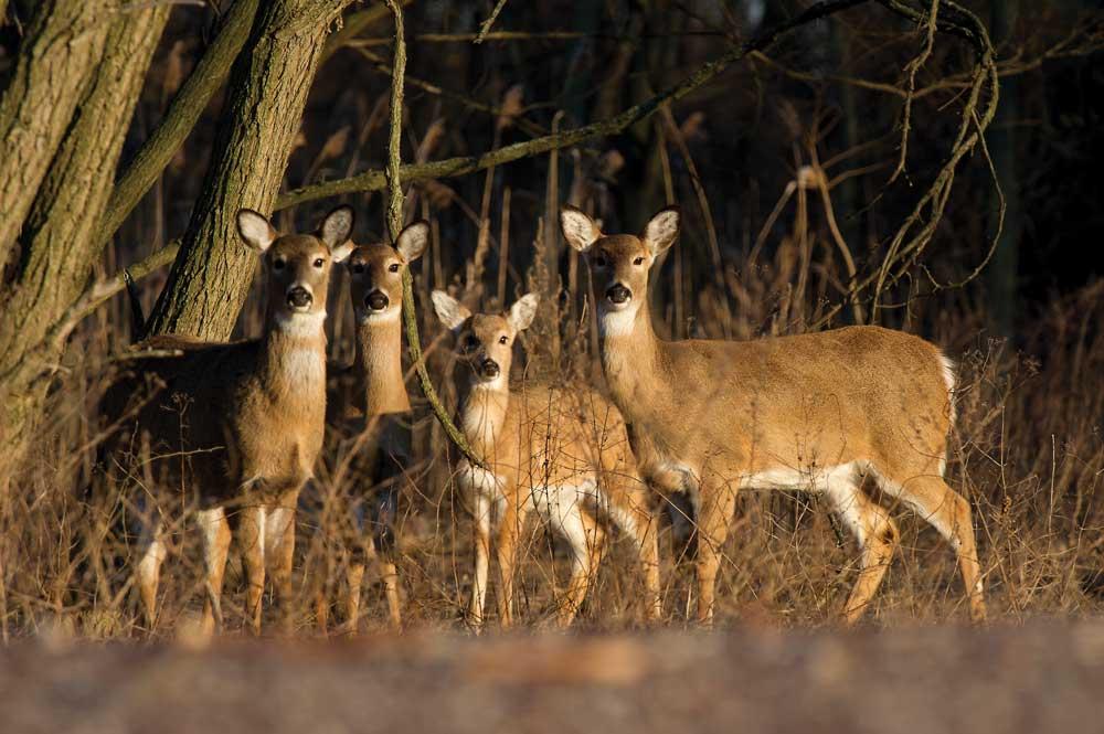 Group of Deer called a herd or mob