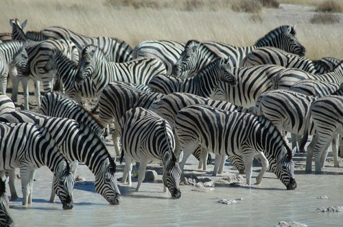 A Group of Zebras are called a Crossing or Zeal