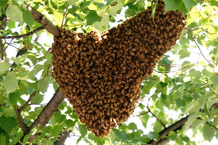 A Group of Bees is called a Hive or Swarm