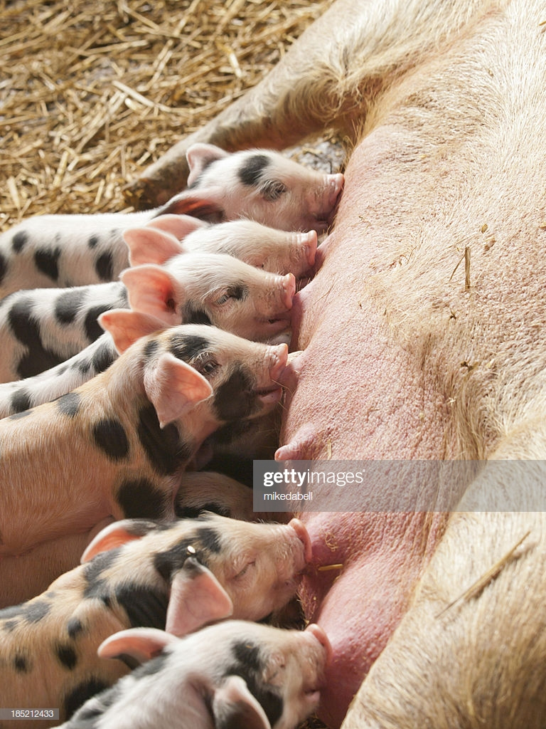 litter of pigs group photo