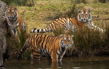 Group of Tigers is Called an Ambush or Streak